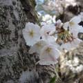 高坂CC岩殿C№1の桜2