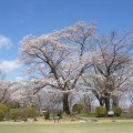 大相模CC西C№.3横の桜